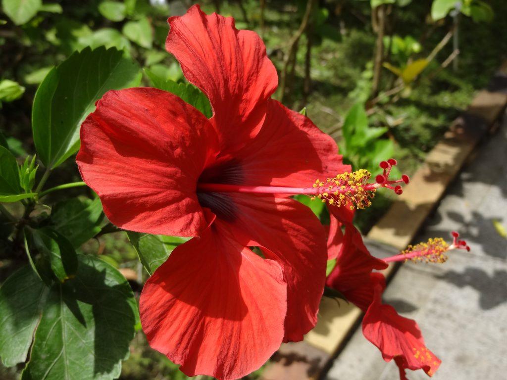 fleur guadeloupe